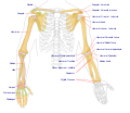 Human arm bones diagram.svg