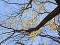 Humboldthain Felsen-Ahorn TP11294.jpg