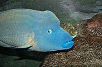 Humphead wrasse melb aquarium