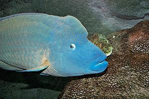 Humphead wrasse - Breeding male humphead wrasse in the Melbourne Aquarium