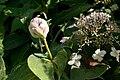 Hydrangea involucrata 06.jpg