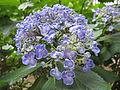 Hydrangea macrophylla 'Uzuajisai'.JPG