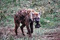 Hyena with food in it's mouth (3228030288).jpg