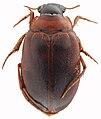 Hygrobia australasiae HabitusDors.jpg