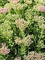 Hylotelephium telephium subsp. telephium Rozchodnikowiec purpurowy 2018-08-12 01.jpg