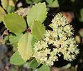 Hylotelephium verticillatum (flower s2).jpg