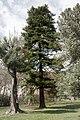 ID 984 Pinus strobus 001.jpg