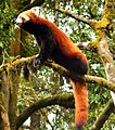 I Am The Rare One (Red Panda).jpg