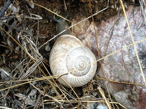 Iberus gualterianus alonensis