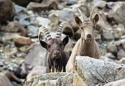 Wild animals of Ladakh