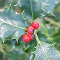 Ilex aquifolium in Foret des Palanges (1).jpg