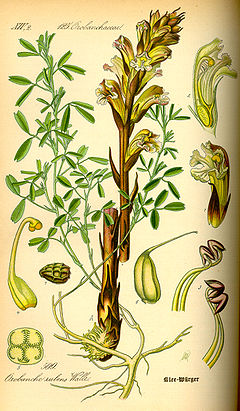 Illustration Orobanche lutea0.jpg