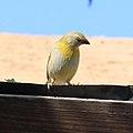 Immature Saffron Finch (3311729469).jpg