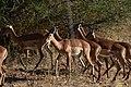 Impala, Ruaha National Park (3) (28126273564).jpg