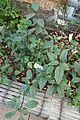 Impatiens hians-Jardin botanique Jean-Marie Pelt (1).jpg
