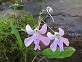 Impatiens scapiflora -Leafless-Stem Balsam from Parambikulam (3).jpg