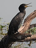 Indian Cormorant by Dr. Raju Kasambe DSCN6862 (4).jpg