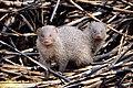 Indian Grey Mongoose (Herpestes Edwardsii) (26818546176).jpg