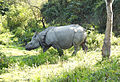 Indian Rhinoceros Rhinoceros unicornis by Dr. Raju Kasambe (3).JPG