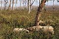 Indian Rhinos (Rhinoceros unicornis) female and 2 youngs (20352895500).jpg