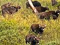 Indian bison (3220735304).jpg