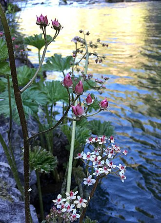 McCloud River - Indian rhubarb (Darmera peltata), on the edge of the McCloud River in May.