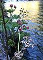 Indian rhubarb (Darmera peltata) on McCloud River.jpg