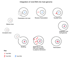 Endogenous retrovirus - Image: Integration of viral DNA into host genome