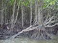 Iriomote mangrove 2007-04-04.jpg