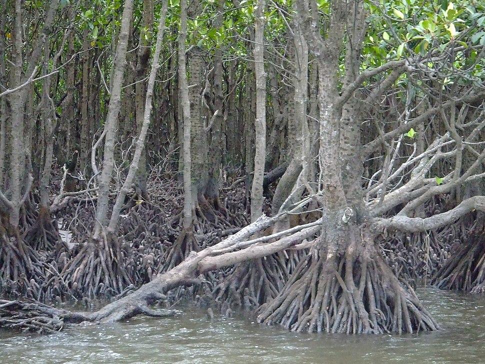 Iriomote mangrove 2007-04-04