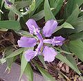 IrisFlower.jpg