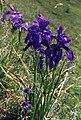 Iris Xiphioides 3 (Pyrenees).jpg
