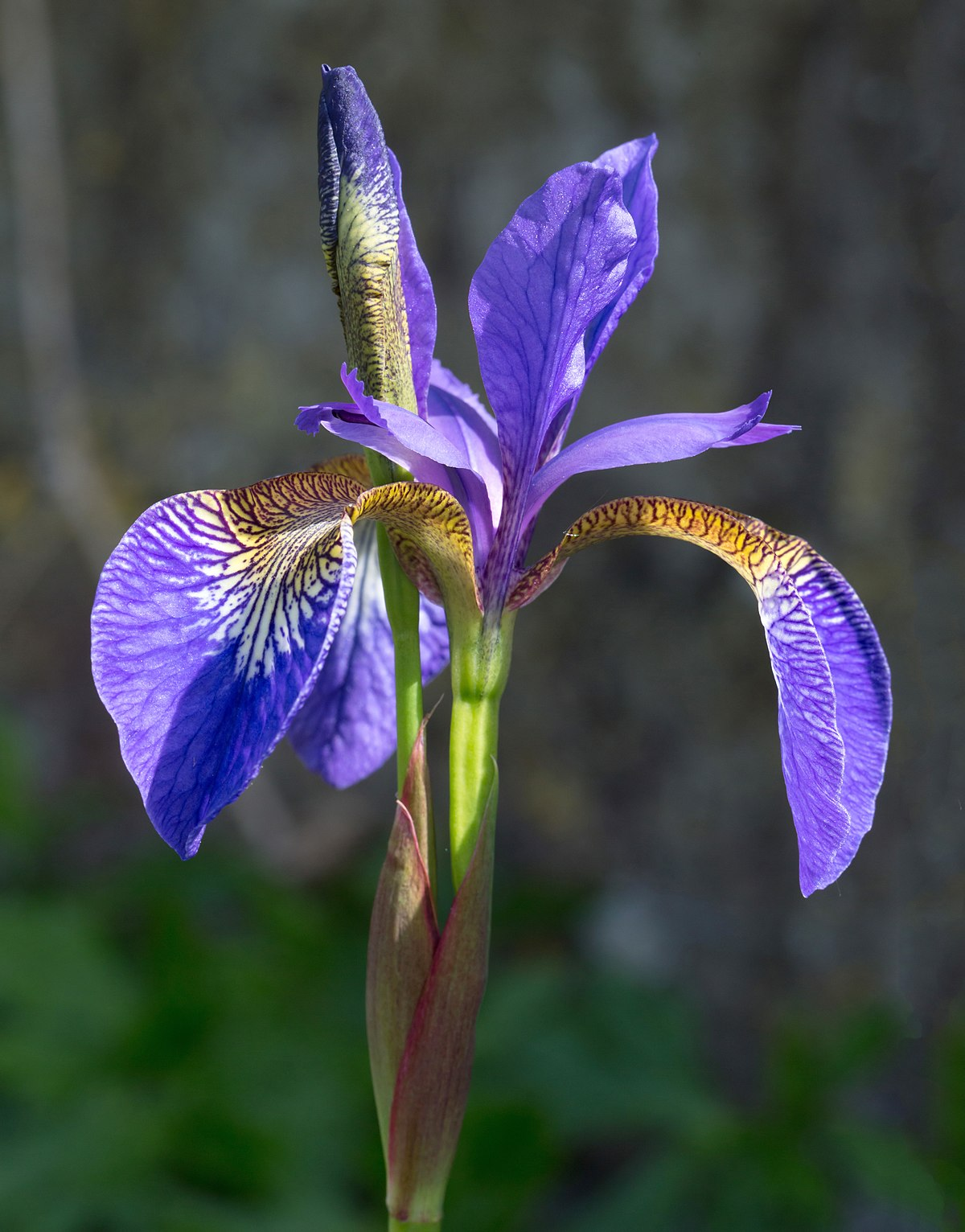 Iris germanica (Purple bearded Iris), Wakehurst Place, UK - Diliff.jpg
