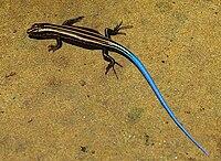 Ishigaki tokage (Plestiodon stimpsonii) - Iriomote island Japan