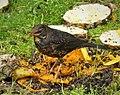 Island Thrush. Turdus poliocephalus (48815086326).jpg
