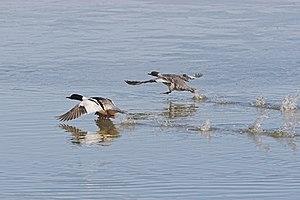 Flying ducks Mergus merganser