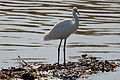 Israel. Little Egret (6497644435).jpg