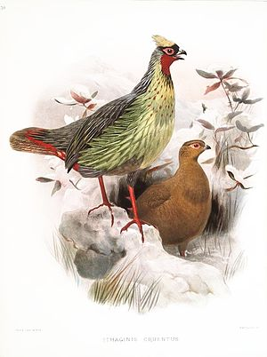 Blood pheasant - Image: Ithaginis Cruentus Wolf