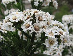 Ixodia achillaeoides subsp. alata 1184.jpg
