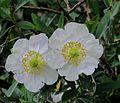 J20160505-0009—Carpenteria californica—RPBG (26295212343).jpg