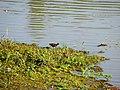 Jacanã (Jacana jacana) na região dos lagos em Bebedouro. Também é conhecido por cafezinho ou menininho-do-banhado. Em certas regiões do Sul do Brasil é também conhecida por asa-de-s - panoramio.jpg