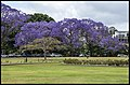 Jacaranda in bloom New Farm Park-1 (22547011101).jpg