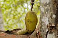 Jackfruit growing at a spice farm in Zanzibar.jpg