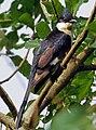 Jacobin cuckoo, pied cuckoo, or pied crested cuckoo (Clamator jacobinus).jpg