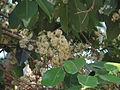 Jamun - Syzygium cumini-2.JPG