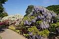 Japanese wisteria, Ashikaga Flower Park 14.jpg