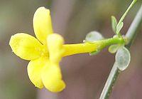 Jasminum fruticans a