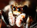 Jumping Spider (2777153499).jpg