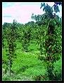 June Flower ^ Cherry Farming Endingen Kaiserstuhl - Master Seasons Rhine Valley Photography 2013 - panoramio (10).jpg
