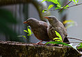 Jungle babbler11.jpg